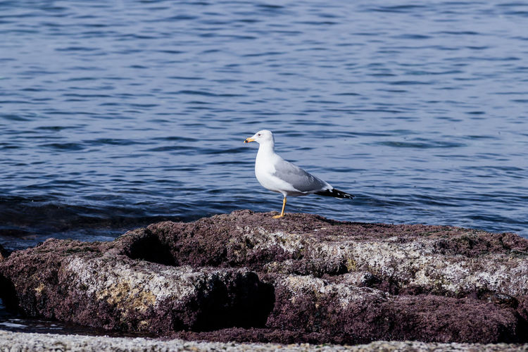 Side view of seagull perching on rock at beach