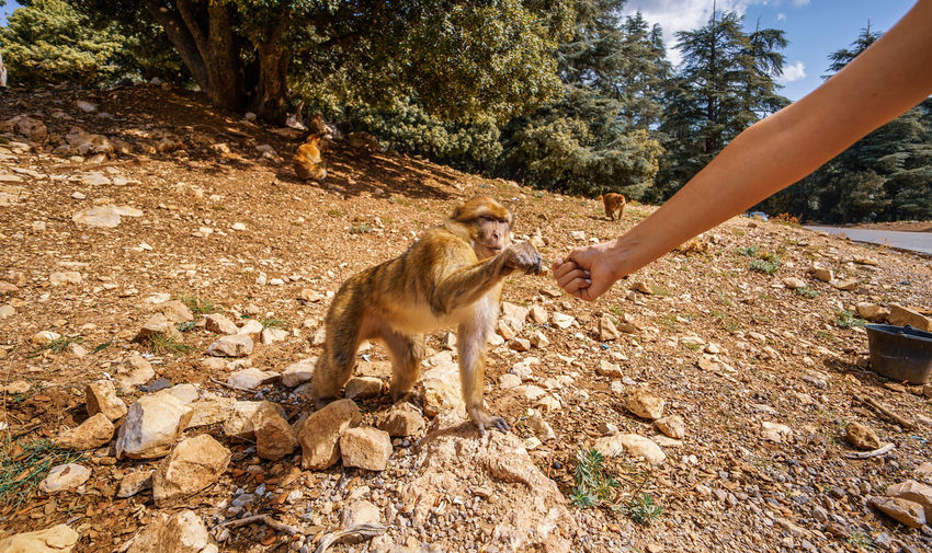 Fist bump, kind of. Azrou, where you can feed the Barbary macaques in the wild and contribute to the conservation of this endangered primate species. Mammal Day Vertebrate Outdoors Animal Wildlife One Person Human Hand Hand Animals In The Wild Nature One Animal Land Sunlight Real People Tree Human Body Part Lifestyles Leisure Activity
