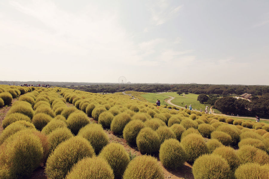 Seaside Park Hitachi Hitachi Seaside Park HitachiSeaSidePark Japan Agriculture Animal Themes Beauty In Nature Bush Day Field Freshness Landscape Mito Nature No People Outdoors Rural Scene Scenics Sky Tranquil Scene Tranquility