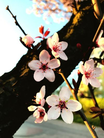 Flowering Plant Flower Plant Freshness Growth Fragility Vulnerability  Beauty In Nature Blossom Tree Petal Springtime Branch Nature Close-up Inflorescence Pollen Flower Head Cherry Blossom Twig
