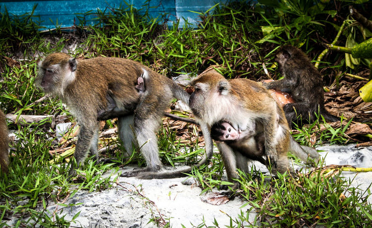 Animal Themes Animals In The Wild Babies Baby Baby Monkey Beach Of Malaysia Canon350D Islandlife Jungle Jungle Trekking Macaque Macaque Monkey Macaques Monkey Monkey Beach Monkey Face Monkeys No People Penang Penang Malaysia Primate Traveling Malaysia Wildlife Young Animal Zoology