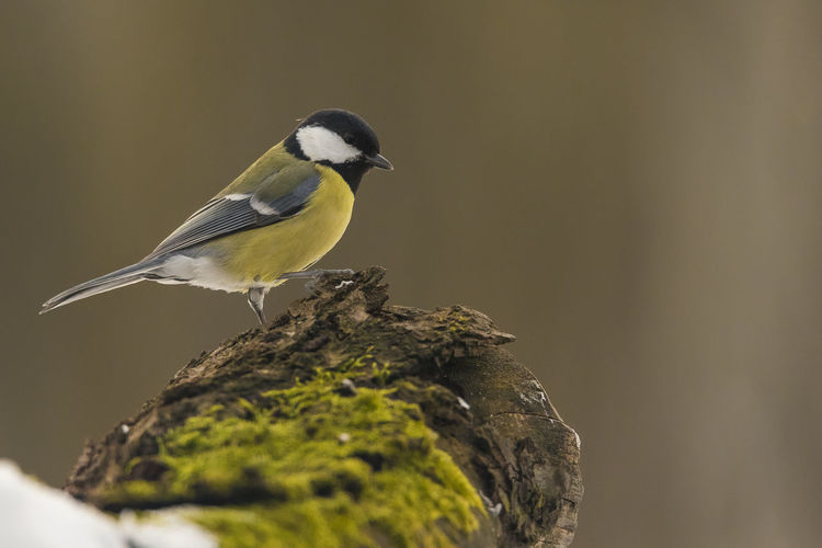 Close-up of great tit perching on wood