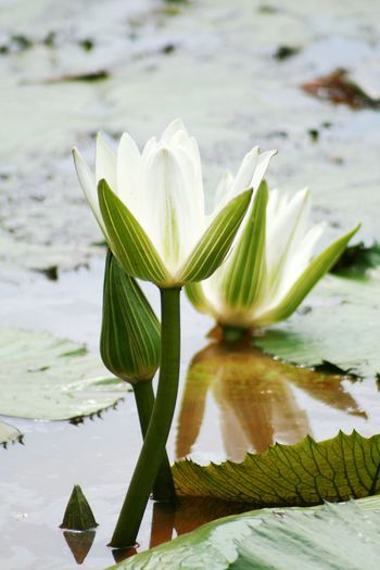 White Waterlily Flowerporn Flowers Flower Collection Flower Photography Nature Photography Waterlily