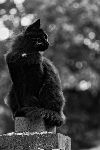 Black Cat Black Cat Is Just So Beautiful. My Cat Is Cooler Than Your Kids! Black Cat Photography Blackandwhite Close-up Day Domestic Animals Focus On Foreground Nature No People Outdoors Pets