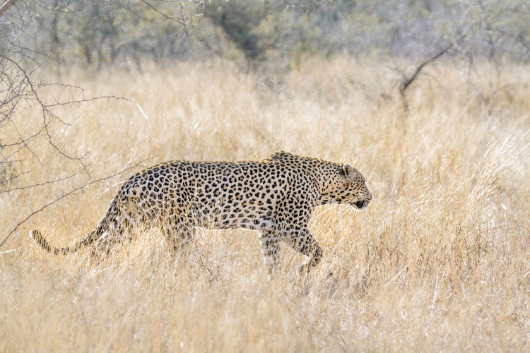 Leopard walking on land