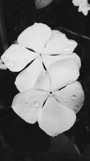 Flower Petal Beauty In Nature Nature_collection Nature Photography Plants And Flowers Nature Plant Flowers,Plants & Garden Flower Collection Black And White Black & White