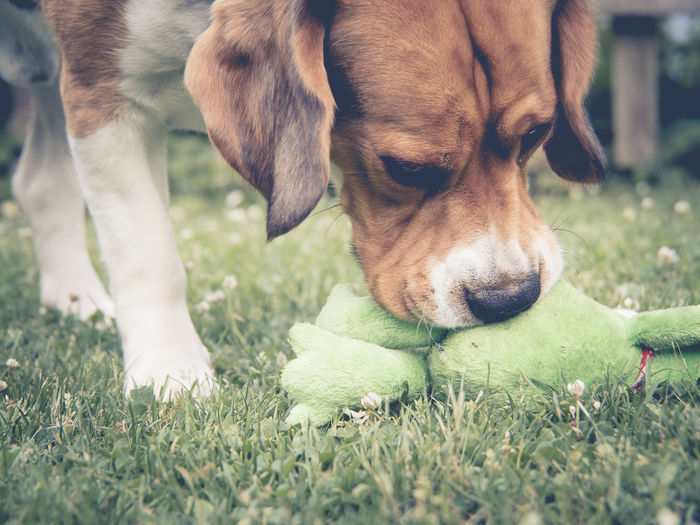 Marierichphotography Olympus Animal Photography Animal Portrait Animal Themes Beagle Beagles  Close-up Day Dog Domestic Animals Grass Mammal Nature No People One Animal Outdoors Pets Playing Dogs Portrait Puppy Toy
