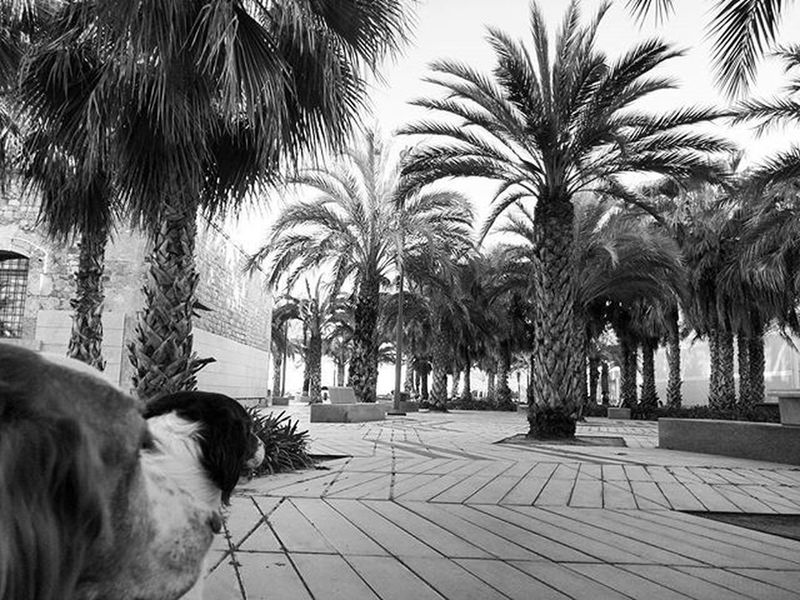 We smell 🌴 lovely peaceful area of the city behind the naval museum in Cartagena SPAIN Brittanyspaniels Rescuedogs Blackandwhite Blackandwhitephotography Bnw Bnw_maniac Monochrome Palms Palmtrees Dogsofinstagram Dogs Dogstagram Doglover Doglife