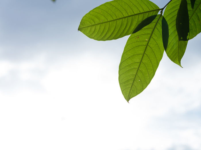 Leaves on blue sky and white cloud background. Abstract Background Beauty In Nature Bight Biology Botany Cell Detail Flora Fresh Green Growth Light Macro Nature Organic