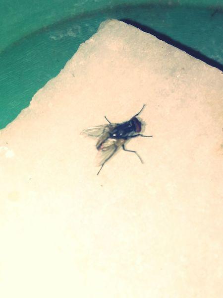 Fly Housefly House Fly House Flies Insect Flies Eyemphotography EyeEm Gallery Eyem Gallery Eyam