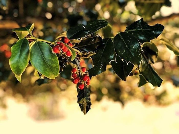 Holly Daze... Leaf Plant Part Plant Nature Fruit Close-up Healthy Eating