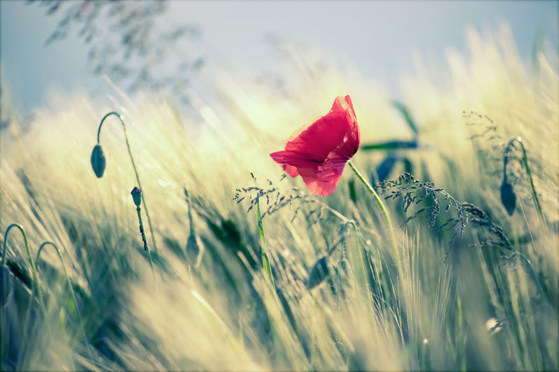 Close-up of red poppy flower on field against sky