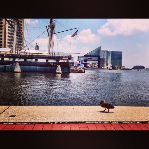 Just a duck doing some sightseeing at Baltimore's Inner Harbor. Baltimore Ips IPhoneography The Moment - 2014 EyeEm Awards
