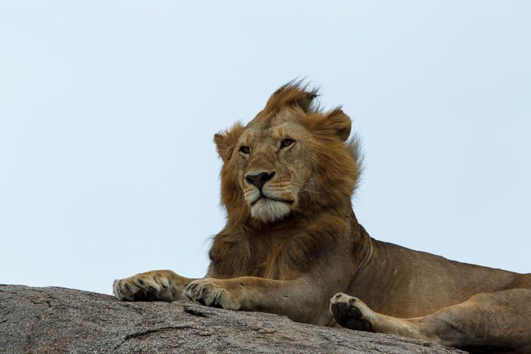 A young african lion on a rock