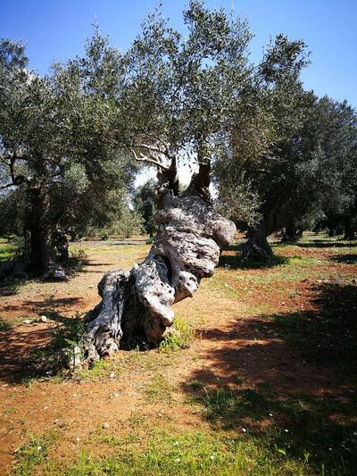 Day Outdoors Nature No People Tree Sunlight Sky Beauty In Nature My Country Salento Puglia Millenary Olive Tree Earth Leaf