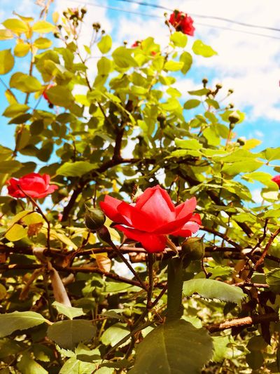 Roses Plant Flower Beauty In Nature Flowering Plant Vulnerability  Fragility Growth Freshness Nature Pink Color Petal Red Cloud - Sky Day No People Close-up Plant Part Sky Sunlight Leaf