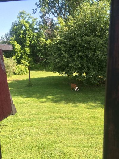 Creative Light And Shadow Apple Tree Sniffing Around Freedom! Boxer Dog Happy