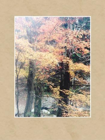 Fall of Japan. Autumn leaves (Momiji)is very beautiful.🍁