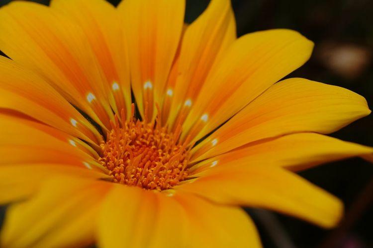 Flower Head Flower Yellow Springtime Day Lily Petal Stamen Pollen Macro Blossom