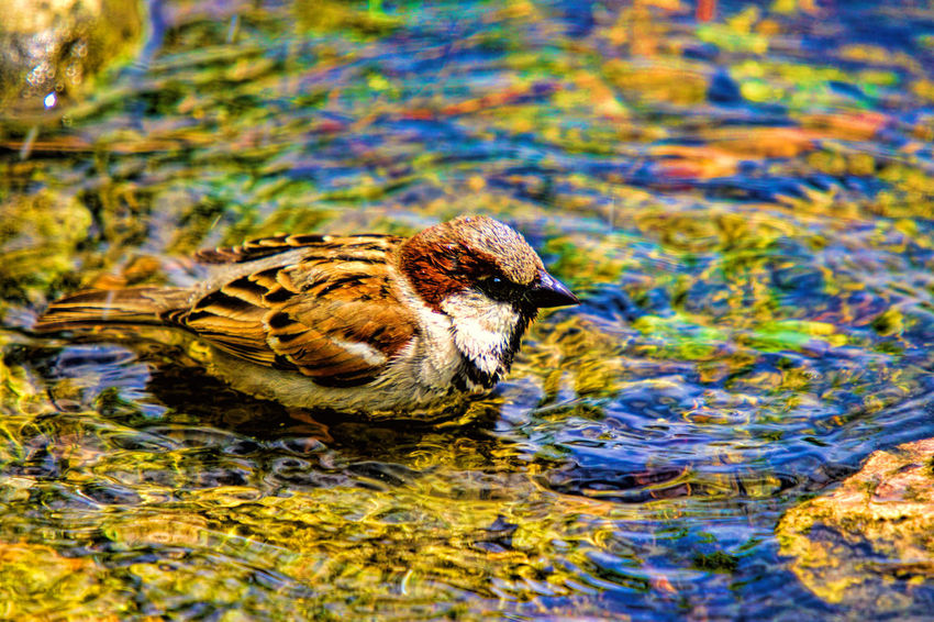Summer Bird Bath Bird Bird Bathing Bird Photography Nature Sparrow Sparrow Bathing Summer Wildlife & Nature
