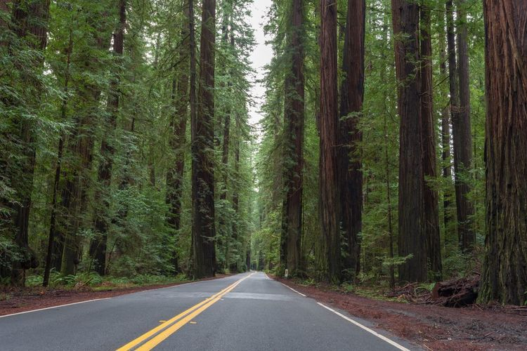 Landscape of road leading through redwood forest in California Redwood Forest Avenue Of The Giants California Tourist Attraction  Forest Redwood Trees Relaxing View Travel Destinations Road Direction Plant Tree Transportation The Way Forward Forest Trunk Nature Marking Green Color Empty Road Tree Trunk Land No People Beauty In Nature Diminishing Perspective The Great Outdoors - 2019 EyeEm Awards