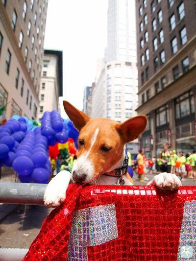 I Heart New York New York Basenji Dog Gay Pride Enjoying Life Love
