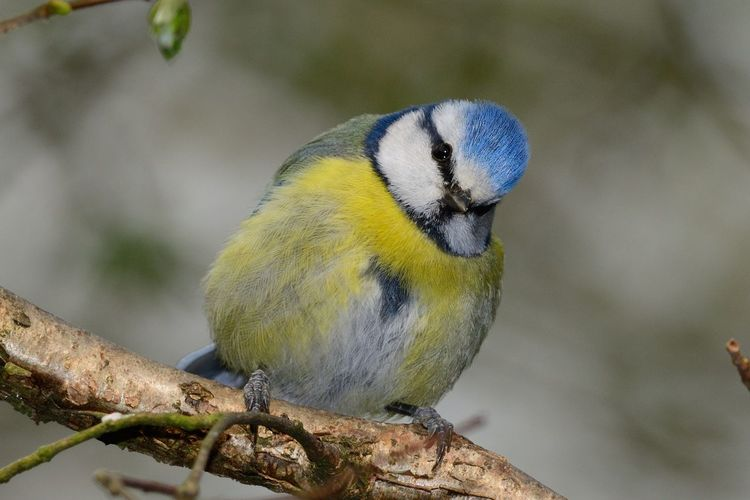 Close-up of blue tit perching on branch
