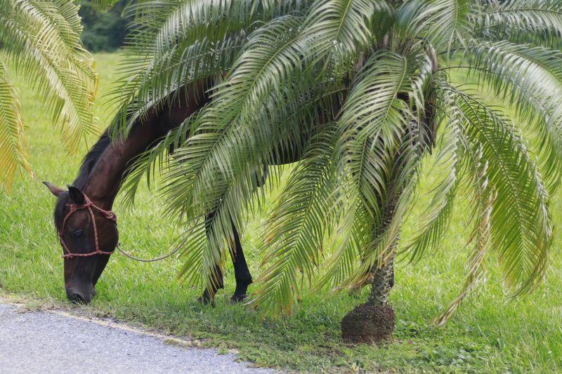 #horse #cuba Viñales #Cuban Style Travel #cubanart #photography #galaxys9plus Viñales Valley, Cuba Pinardelrio #muraldelaprhistoria #travel #travelphotography #green #Plants #Nature  #cubanphotography #cubanphotographer #journalism #Journalist Tree Palm Tree Sky Plant
