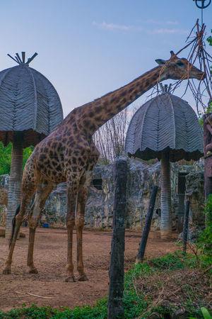 giraffe in dusit zoo Bangkok Thailand Animal Cot Dusit Zoo Giraffe Home Mammal Nature Outdoors Tree Zoo