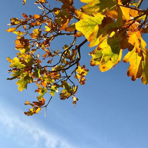 Autumn leaves Tree Nature Growth Branch Leaf Beauty In Nature Low Angle View Sky No People Fragility Autumn Day Flower Freshness Outdoors Blue Close-up Clear Sky Scenics Oak Oak Leaves Yellow Shaddow Green Color