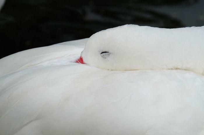 Sleeping Bird White Color One Animal Animal Themes Animals In The Wild Bird Swan Animal Wildlife Close-up Beak Beauty In Nature Outdoors Nature Day