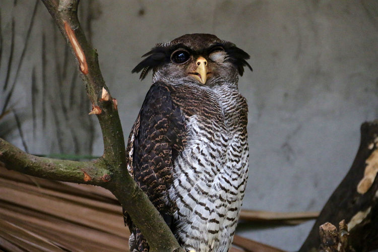 Fish owl winking at camera with an eye closed