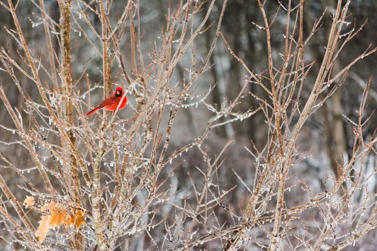 Tree Animal Themes Animal One Animal Animals In The Wild Animal Wildlife Vertebrate Branch Bird Plant Nature Perching Bare Tree No People Day Selective Focus Outdoors Cold Temperature Red Winter