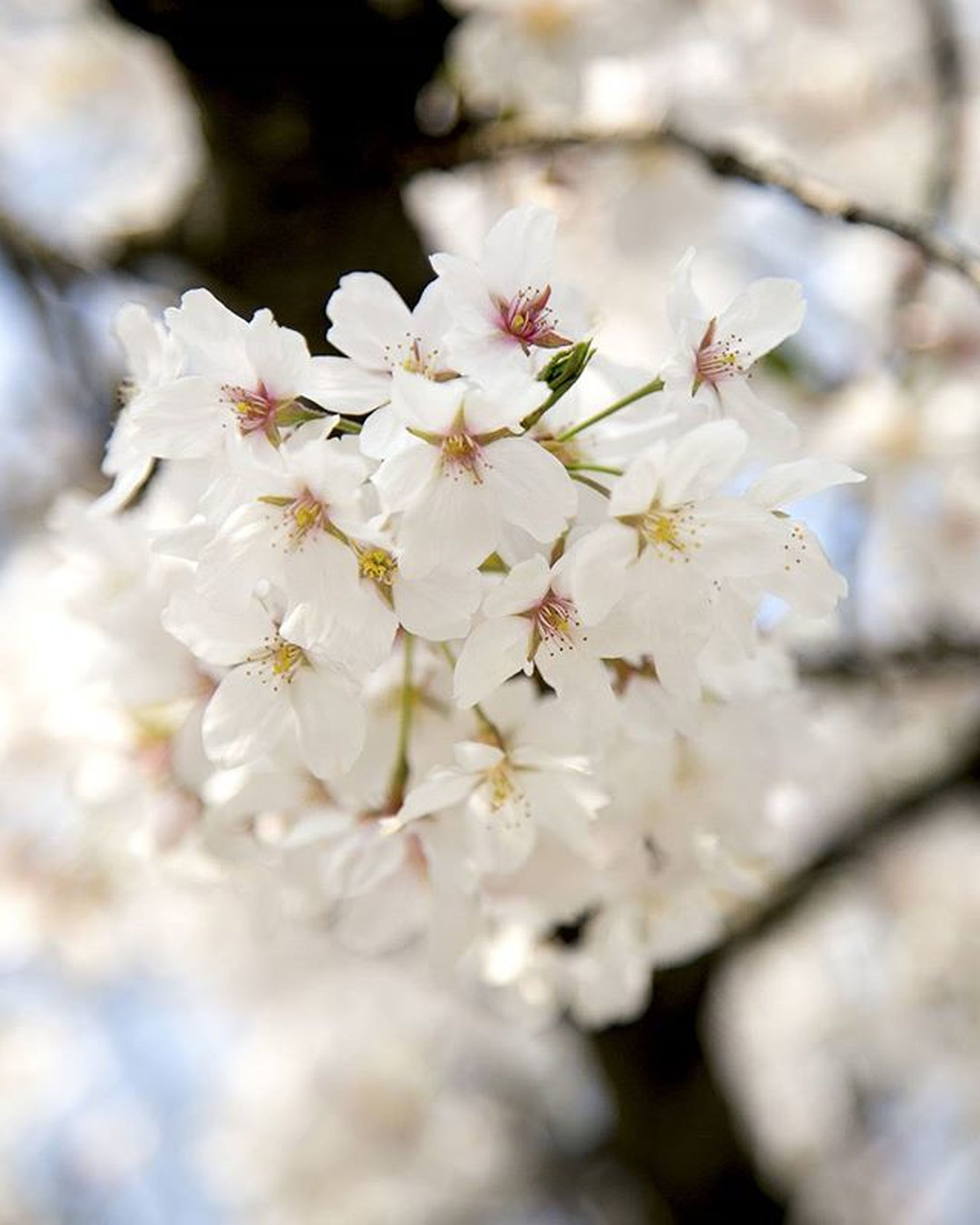 flower, freshness, growth, fragility, white color, petal, beauty in nature, close-up, nature, focus on foreground, flower head, blossom, cherry blossom, tree, selective focus, blooming, in bloom, branch, white, stamen