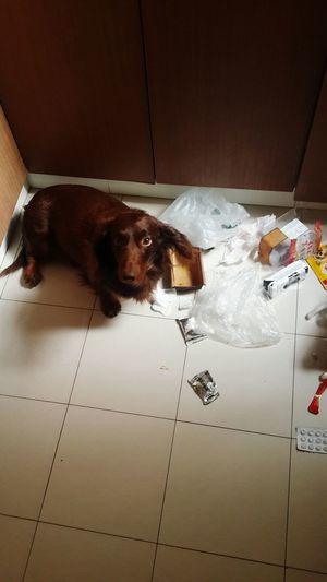 I want to kill him╰_╯ Sausagedog EyeEm Animal Lover Puppy Love I Love My Dog Dog Dachshund Doglover PuppyLove Photeoftheday Angry