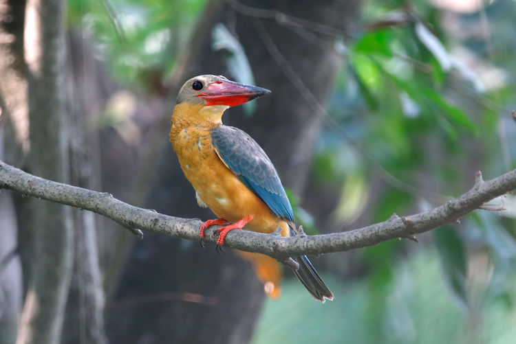 Stork-billed Kingfisher Pelargopsis capensis Beautiful Birds of Thailand Vertebrate Animal Themes Bird Animal Animal Wildlife Perching Animals In The Wild Tree Branch Focus On Foreground One Animal Plant Kingfisher No People Close-up Day Nature Beak Outdoors Beauty In Nature Stork-billed Kingfisher Kingfisher