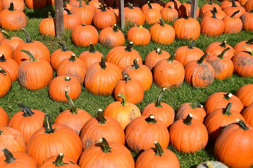 Abundance Agriculture Anthropomorphic Face Autumn Celebration Choice Day Field Food Food And Drink Gourd Grass Halloween Harvesting Holiday - Event Jack O Lantern Jack O' Lantern Large Group Of Objects No People Orange Color Outdoors Pumpkin Straw Tradition Vegetable