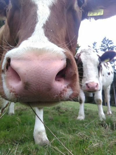 Neugierige Kühe... Kühe Landliebe Countryside Swiss Countrylife Eyemnaturelover Tierliebe