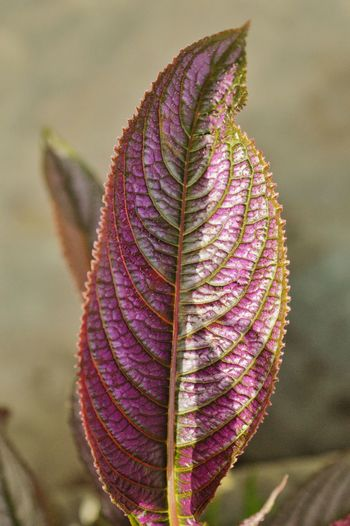 Textured. Vertical Focus On Foreground Purple Leaf Autumn Beauty In Nature Close-up Outdoors Macro Macro Photography Nikon Photography. Nikon D3200 Fragility Texture Nature Portraits