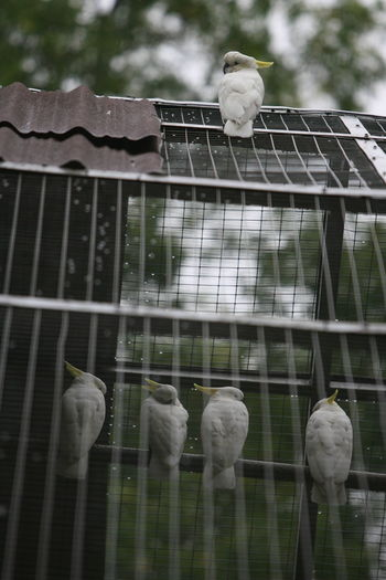 Sulphur crested cockatoo perching in cage