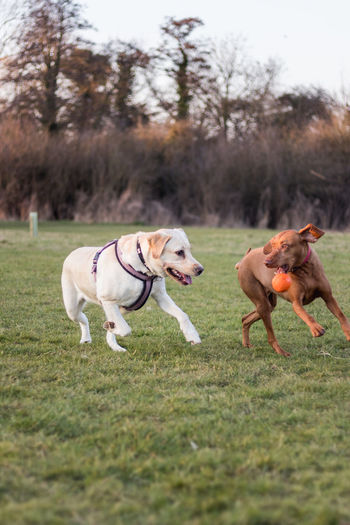 Two dogs playing on grass area