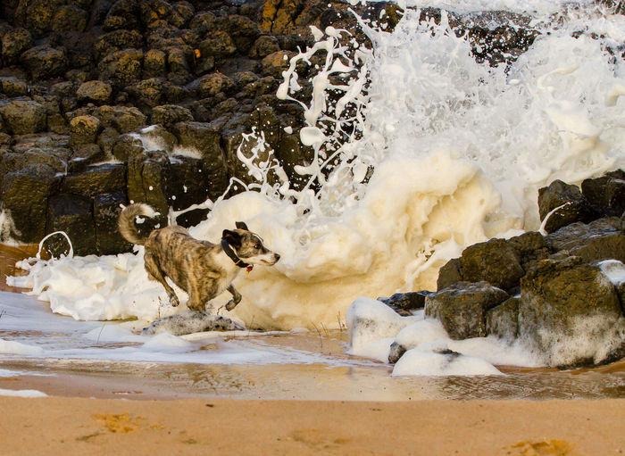 Dog running while waves splashing on rocks at beach