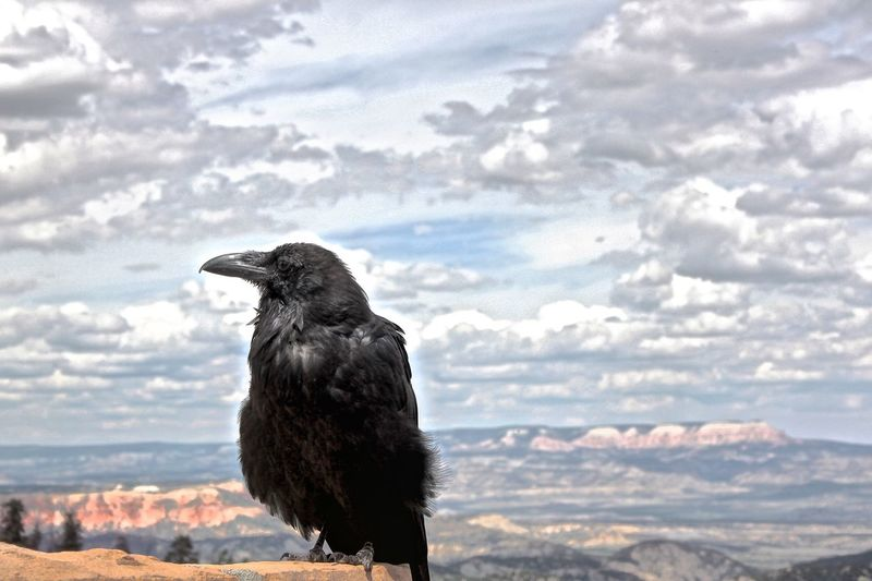 Close-Up Of Raven Perching On Rock Against Cloudy Sky