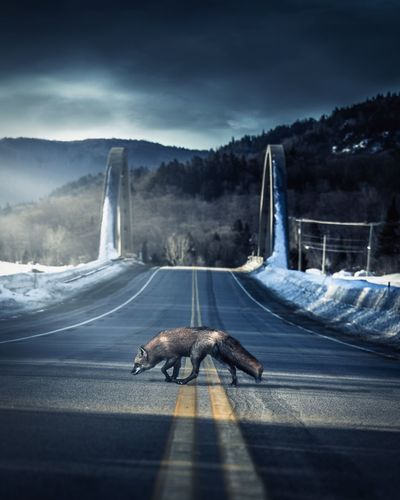 Red fox crossing Transportation Sky Cloud - Sky Nature Road Architecture No People Bridge - Man Made Structure Scenics - Nature Road Marking Built Structure Connection Day Bridge Outdoors Mountain Sign Tree Sunlight EyeEmNewHere