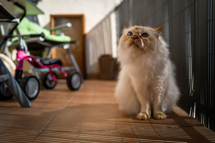 Birman Cat Domestic Pets Animal Themes Domestic Animals One Animal Animal Mammal Domestic Cat Cat Feline Vertebrate No People Persian Cat  Indoors  Flooring Sitting Home Interior Looking Whisker Table Birman Cat