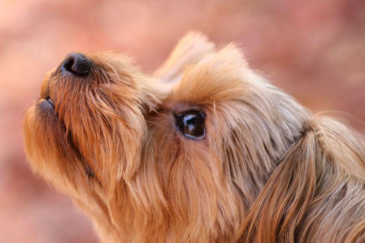 EyeEm Gallery Japan 日本 Japan Photography 愛犬 犬 Yorkie 紅葉 Pink Color Pets Portrait Dog Blond Hair Beauty Eye Close-up