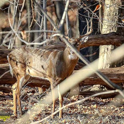 Gotta love when tiny branches ruin your photo 😠 Nature_shooters Wildlifephotography Outdoors Buck RackCity Ig_discover_wildlife Whitetail Deer Animal_sultans Antlers Ohio