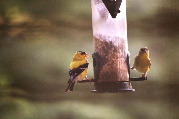 Goldfinch EyeEm Selects Close-up Bird Feeder Perching