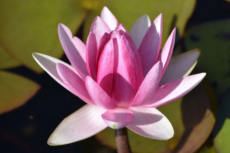 Water Lily Flower Petal Beauty In Nature Nature Lotus Water Lily Fragility Lotus Flower Head Growth Freshness Day Close-up No People Outdoors EyeEm Best Shots EyeEmNewHere Exceptional Photographs Let's Do It Chic! Respect For The Good Taste