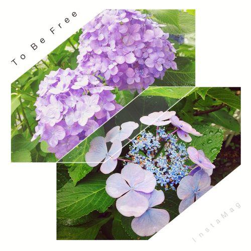 梅雨はじめじめするけど、紫陽花の落ち着いた色が好き。😊